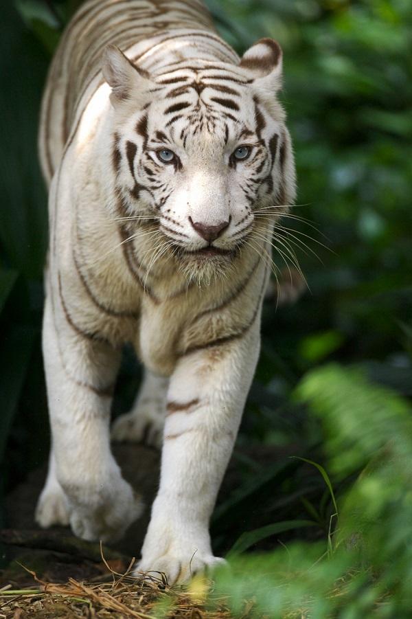 tiger coming at you